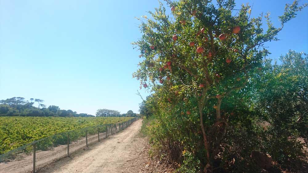 Viiniviljelmä ja granaattiomenapuu
