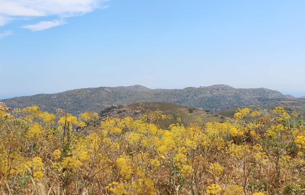 Näkymä vuoren rinteeltä. Etualalla keltaisia kasveja, kauempana vuoria